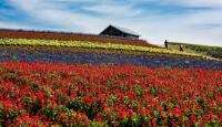 Flower field in Furaro on Hokkaido Island, 