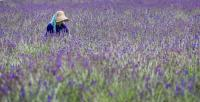 A women working in the lavender field in Biei on Hokkaido, Japan