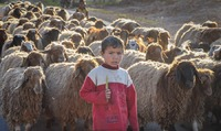 Boy herding sheep, Hama