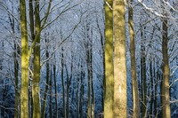 Winter in Frijsenborg forest, Jutland