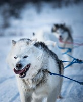 Sled dogs around Kuujjuaq, Canada