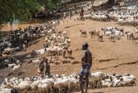 Climate change induced droughts affect livelihoods. The semi-nomadic pastoralists like the Hamer tribe in Ethiopia go to new and far-away areas with their herds in search for pastures and water.