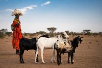 In Kenya, a Turkana woman take her goats to the market to sell in order to pay for school fees for her son. This is because the climate induced drought has wiped out her crops that she used to sell to get money for school fees.