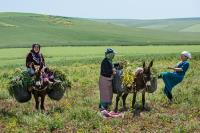 In the spring and due to climate change, rural women in the Rif Mountains in Morocco have to collect more fodder to feed their animals in the dryer summer month than they used to .