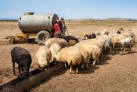 Moroccan pastoralists serve water to their sheep as the waterholes have dried up as a result of reduced rainfall and increased temperatures.